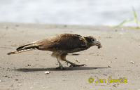 Milvago chimachima - Yellow-headed Caracara