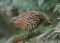 Image of: Bambusicola thoracicus (Chinese bamboo partridge)