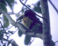 Image of: Pteroglossus torquatus (collared aracari)