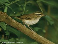 Pale-legged Leaf Warbler - Phylloscopus tenellipes
