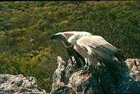 Cape Griffon - Gyps coprotheres