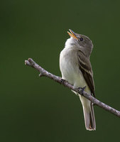 Alder Flycatcher (Empidonax alnorum) photo