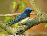 Blue-and-white Flycatcher - Cyanoptila cyanomelana