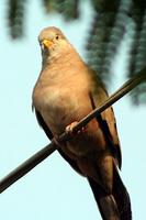 Croaking Ground-Dove (Columbina cruziana)