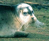 Bearded Seal - Erignathus barbatus