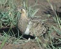 Chestnut-bellied Sandgrouse p.164