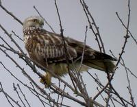 Buse pattue juvénile (Buteo lagopus)
