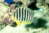 : Paracentropyge multifasciata; Multi-barred Angelfish