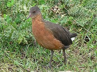 ...The fearless Rouget's Rail is endemic to Ethiopia and Eritrea and is particularly easy to see in