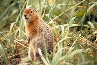 Image of: Spermophilus parryii (Arctic ground squirrel)