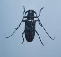 Image of: Cerambycidae (long-horned beetles and sawyer beetles)