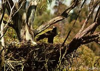 Wedge-tailed Eagle - Aquila audax