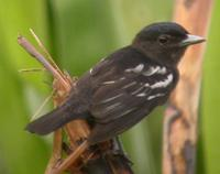 White-winged becard, Suriname