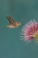 ...White Lined Sphinx ( Hyles lineata ) , feeding on nectar from thistle flower , Gila National For