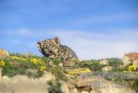 Baby Snow Leopard Eleven Weeks Old ( Panthera uncia ) , Controlled Conditions stock photo