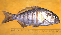Amphistichus argenteus, Barred surfperch: fisheries, gamefish