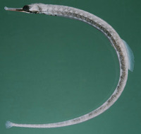 Corythoichthys haematopterus, Messmate pipefish: aquarium