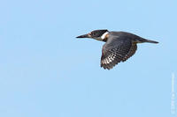 Image of: Megaceryle alcyon (belted kingfisher)