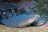 Image of: Triaenodon obesus (whitetip reef shark)