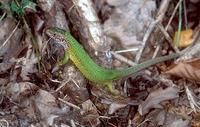 Lacerta viridis - Green Lizard