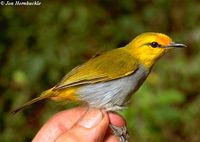Yellow-spectacled White-eye - Zosterops wallacei