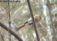Fulvous Parrotbill - Paradoxornis fulvifrons