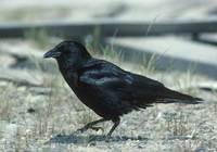Northwestern Crow (Corvus caurinus) photo