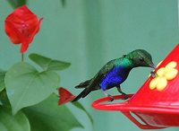 Violet-bellied Hummingbird - Damophila julie