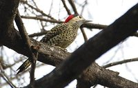 Green-barred Woodpecker - Colaptes melanochloros