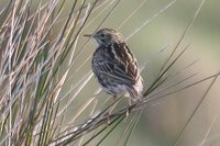 Correndera Pipit - Anthus correndera