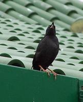 Crested Myna saw in Hong Kong