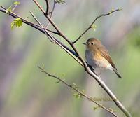 Red-flanked bluetail C20D 02665.jpg