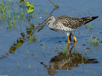 : Tringa melanoleuca; Greater Yellowlegs