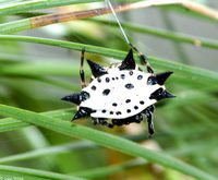 : Gasteracantha elipsoides; Crablike Spiny Orb Weaver