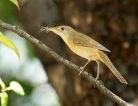 Thick-billed Warbler » Acrocephalus aedon
