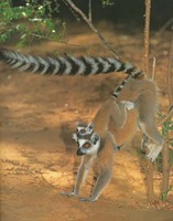 photograph of ring-tailed lemurs