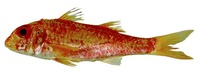 Mullus auratus, Red goatfish: fisheries