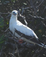 Sula sula - Red-footed Booby