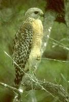 Image of: Buteo lineatus (red-shouldered hawk)