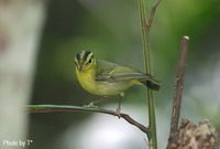 Sulphur-breasted Warbler - Phylloscopus ricketti