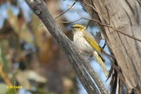 Yellow-plumed Honeyeater - Lichenostomus ornatus