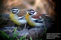 Golden-breasted Bunting - Emberiza flaviventris