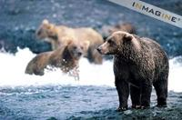 Grizzly or Brown Bear (Ursus arctos) hunting for Salmon photo