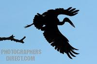African Openbill stork taking off stock photo