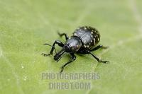 snout beetle , weevil , Curculionidae , Liparus glabirostris on green leave stock photo