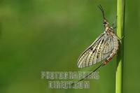 mayfly ( Ephemera danica ) on blade of grass stock photo
