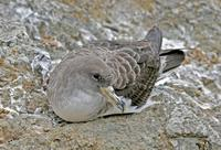 Cory's Shearwater, Calonectris diomedia