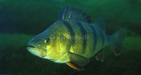 (European) Perch Perca fluviatilis