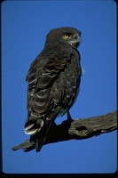 : Circaetus pectoralis; Black Chested Snake Eagle