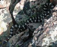 : Lampropeltis zonata; Mountain Kingsnake